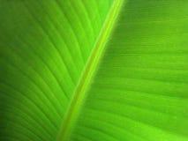 香蕉叶子(14) 免版税库存照片
