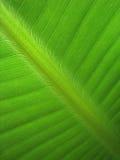 香蕉叶子(18) 免版税库存图片