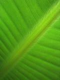 香蕉叶子(18) 免版税图库摄影