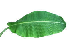 香蕉叶子 图库摄影