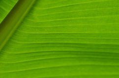 香蕉叶子13 免版税库存照片