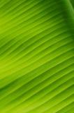 香蕉叶子14 免版税图库摄影