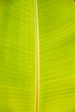 香蕉叶子 免版税图库摄影