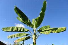 香蕉和叶子在蓝天 免版税图库摄影