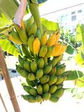 香蕉在树 02 库存图片