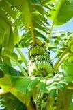 香蕉在热带种植园的棕榈树 印度 库存照片