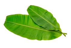 香蕉在白色背景隔绝的叶子湿 免版税库存照片