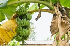 香蕉在香蕉树的束成长 库存图片