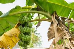香蕉在香蕉树的束成长 免版税库存图片