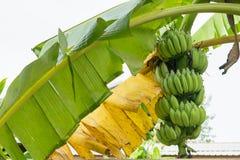香蕉在香蕉树的束成长 免版税库存照片