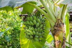 香蕉大明亮的接近的绿色留下结构树 免版税库存图片