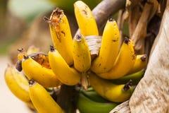 香蕉大明亮的接近的绿色留下结构树 图库摄影