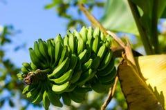 香蕉大明亮的接近的绿色留下结构树 库存图片