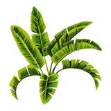 香蕉大明亮的接近的绿色留下结构树 皇族释放例证