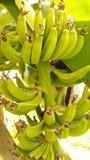 香蕉大明亮的接近的绿色留下结构树 免版税图库摄影