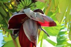 香蕉大明亮的接近的绿色留下结构树 库存照片