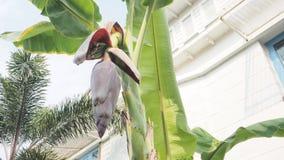 香蕉安排新2实施投入从开花在树 免版税库存图片