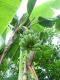 香蕉工厂泰国 免版税图库摄影