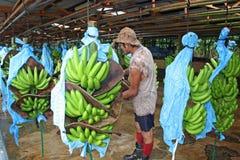 香蕉工厂的工作者在哥斯达黎加,加勒比 免版税库存照片