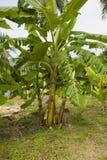 香蕉工厂 免版税图库摄影
