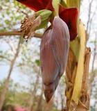 香蕉开花在夏天 库存图片