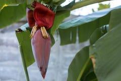 香蕉开花新鲜在泰国 免版税图库摄影
