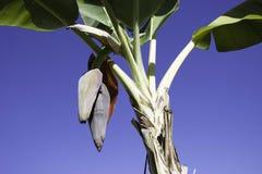 香蕉开花 库存照片