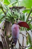 香蕉开花 免版税图库摄影