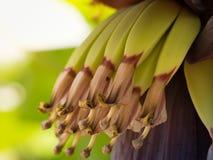 香蕉心脏开花的开花  香蕉大明亮的接近的绿色留下结构树 图库摄影