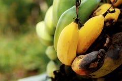 香蕉成熟与阳光 免版税库存图片