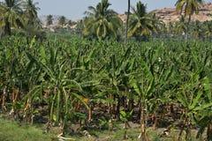 香蕉或芭蕉科,在亨比,卡纳塔克邦,印度附近的种植园 免版税库存图片