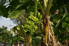 香蕉或芭蕉科,在亨比,卡纳塔克邦,印度附近的种植园 免版税库存照片
