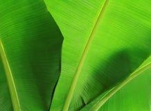 香蕉接近的叶子 免版税库存照片