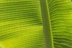 香蕉接近的叶子 免版税库存图片