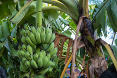 香蕉新鲜在泰国 图库摄影