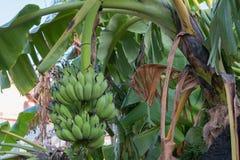 香蕉新鲜在泰国 库存图片