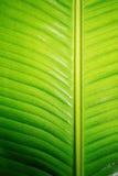 香蕉新鲜的绿色叶子 图库摄影
