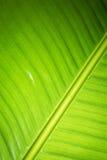 香蕉新鲜的绿色叶子 免版税图库摄影