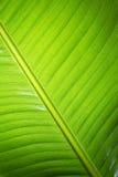 香蕉新鲜的绿色叶子 库存图片