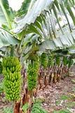 香蕉有机种植园结构树 图库摄影