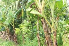 香蕉束在庭院里 库存图片