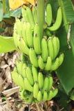 香蕉束在庭院里 免版税库存图片