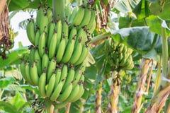 香蕉束未加工在香蕉树在香蕉种植园 库存图片