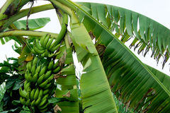 香蕉束未加工在香蕉树 免版税库存照片