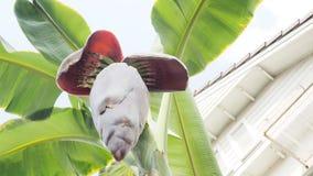 香蕉果子安排新2实施投入从开花底视图 免版税库存图片