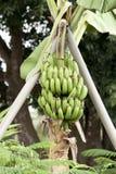 香蕉果子 图库摄影