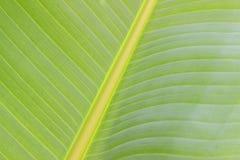 香蕉树叶子肢体中心绿色背景 库存图片