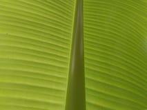 香蕉树叶子 图库摄影