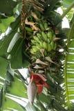 香蕉树和香蕉开花 免版税库存图片