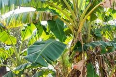 香蕉树在看起来一个农村房子的庭院附近结束看法令人敬畏 免版税库存图片